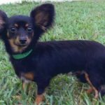 6 Facts about Chiweenie (A.K.A. Chihuahua Dachshund Mix)