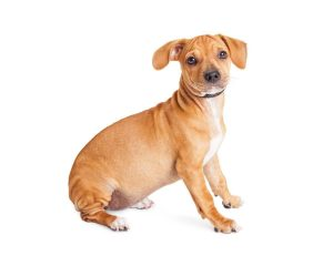 Cute mixed Chihuahua and Dachshund crossbreed dog sitting to side over white