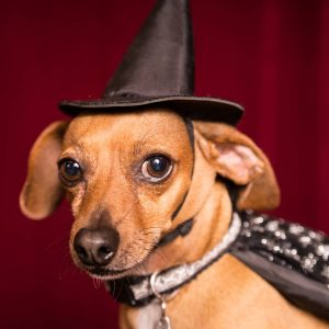 Cute Chiweenie dog dressed as witch with hat and cape for Halloween