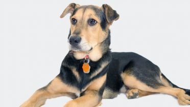 German Shepherd Lab Mix also known as German Sheprador or Labrashepherd