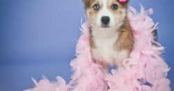 All About Pomsky Temperament & Behavior