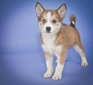 Little Pomsky puppy standing on a purple background with copy space.