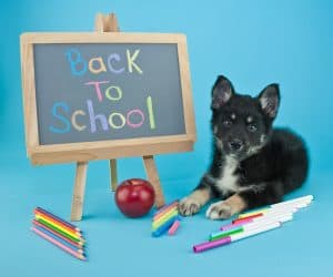 Cute little Pomsky puppy laying on a blue background with a back to school sign and school supplies all around him.