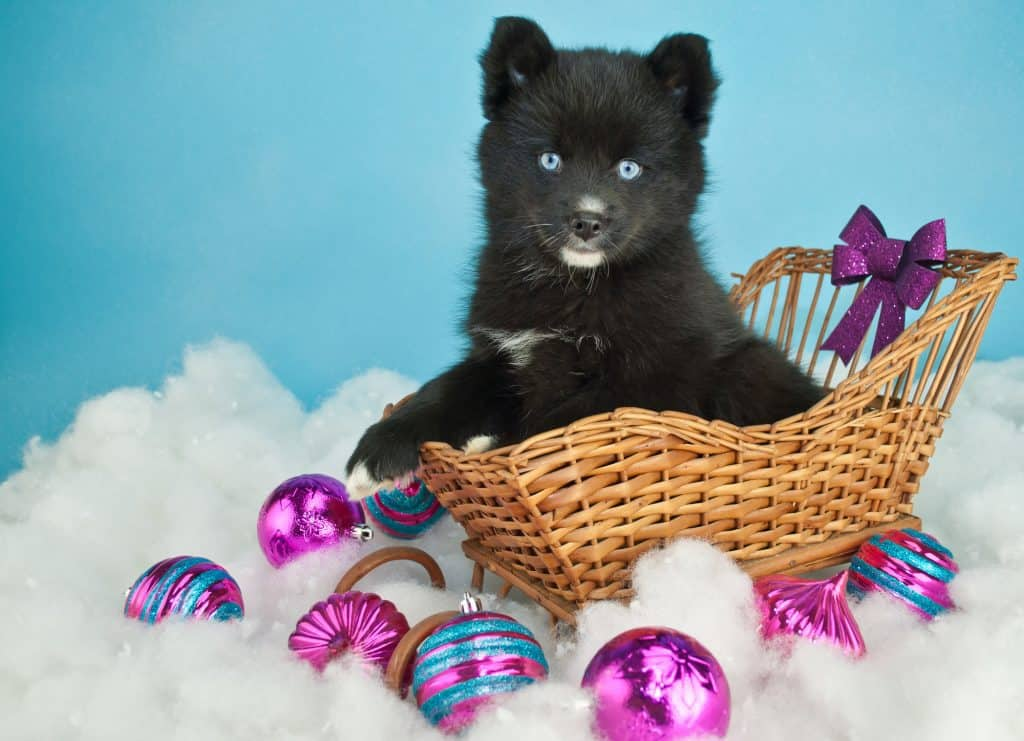 Cute Pomsky puppy sitting in a basket in the snow with purple Christmas ornaments around her on a blue background with copy space.