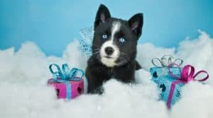 Beautiful blue eyed Pomsky puppy laying in the snow with Christmas gifts around him on a blue background.