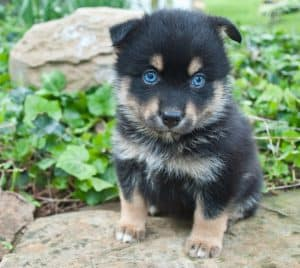Very cute Pomsky puppy sitting on a rock outdoors with very blue eyes.