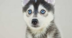 How Much Does it Cost to Own a Pomsky?