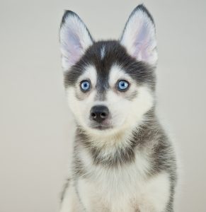 Close up of a cute little Pomsky puppy with blue eyes.