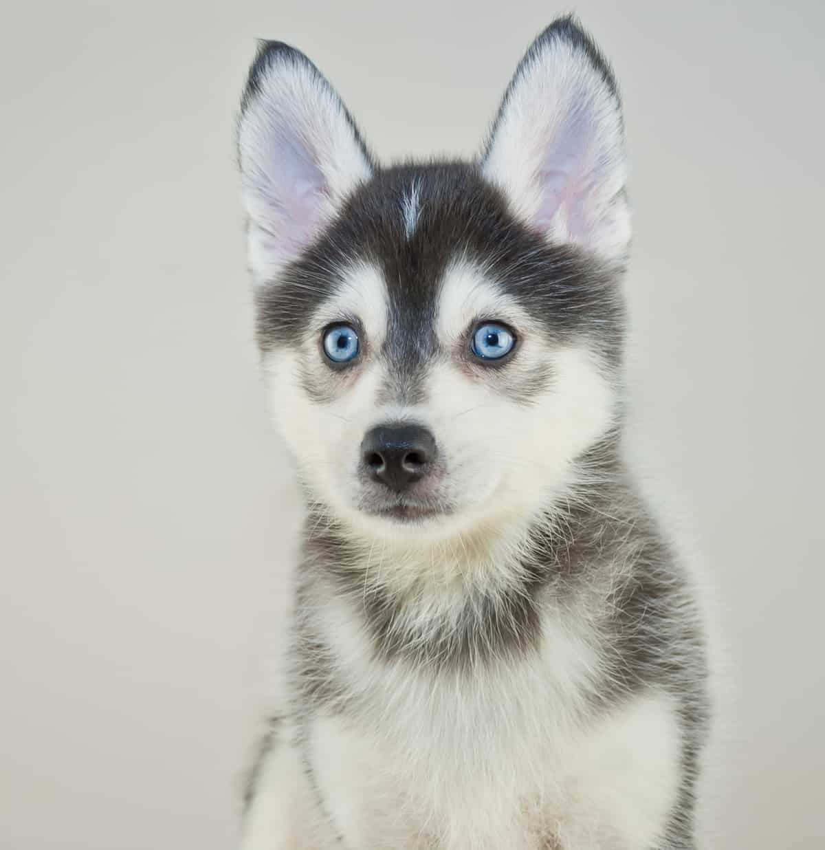 Half Blue Eye Dog