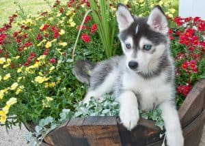Cute Pomsky puppy laying in a bucket of flowers out doors.