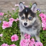 Sweet little Pomsky puppy sitting outdoors with flowers around her,