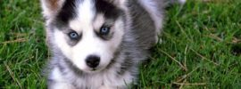 7 Things You Need to Know Before Buying a Pomsky
