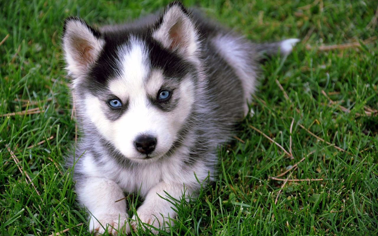 Fantastic Puppy Blue Eye Adorable Dog - Pomsky-5  Best Photo Reference_60312  .jpg