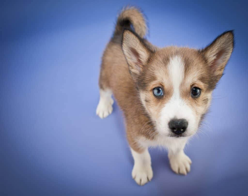 Close up of a sweet Pomsky puppy looking up on a purple background.