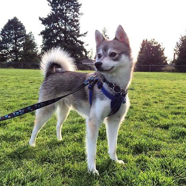 Assez 7 Things You Need to Know Before Buying a Pomsky - Animalso FQ75