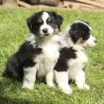 border-collie-shepherd-mix-6