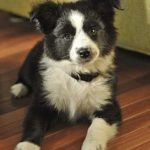 border-collie-shepherd-mix-7
