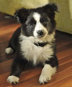 7 Facts That Will Make You Love The Border Collie German Shepherd