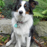 border-collie-shepherd-mix-8