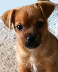 6 Facts About Chiweenie Aka Chihuahua Dachshund Mix Or
