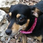 Dachshund mix with Chihuahua by thevetscare.com