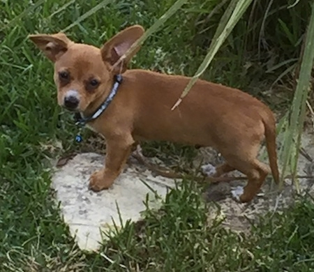 6 Facts about Chiweenie (A.K.A. Chihuahua Dachshund Mix) - Animalso