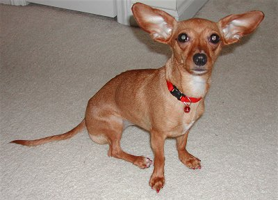 how big will a dachshund chihuahua mix get 6 facts about chiweenie a k a chihuahua dachshund mix 1310
