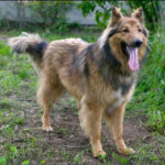collie-german-shepherd-mix-3
