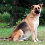 collie-german-shepherd-mix-6