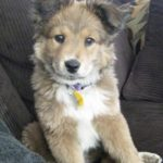 collie-german-shepherd-mix-8