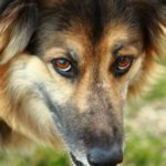 collie-shepherd-mix-4