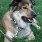 collie-shepherd-mix-5