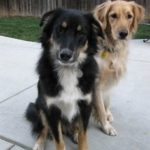collie-shepherd-mix-7