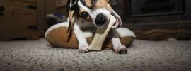 Can Dogs Eat Lamb Bones?