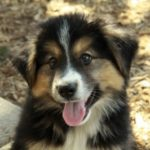 german-shepherd-border-collie-mix-1