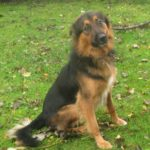 german-shepherd-border-collie-mix-4