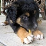 german-shepherd-border-collie-mix-6