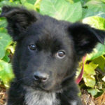 german-shepherd-border-collie-mix-7