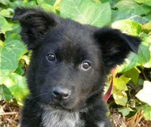 7 Facts That Will Make You Love the Border Collie German ... Border Collie Lab German Shepherd Mix