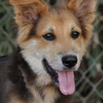german-shepherd-collie-mix-1