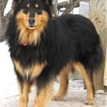 german-shepherd-collie-mix-3