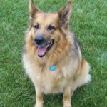 german-shepherd-collie-mix-4