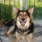 german-shepherd-collie-mix-5