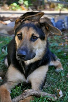 german shepherd labrador mix