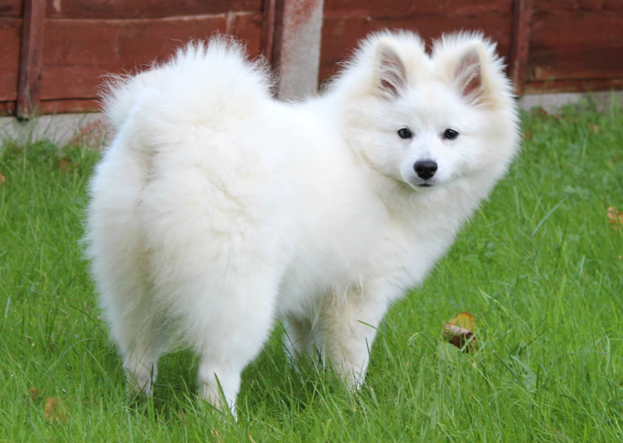 7 things you need to know before buying a pomsky - animalso