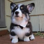 husky-corgi