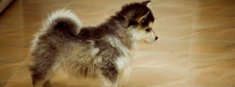 corgi husky mix puppies