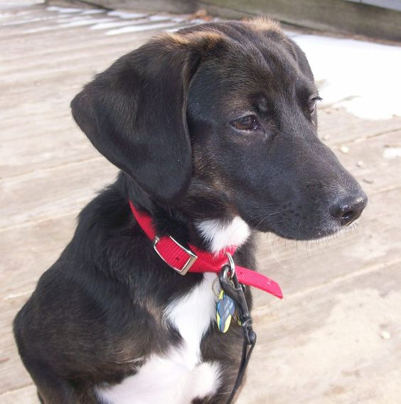 lab beagle mix