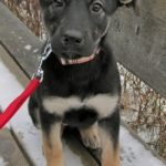 labrador german shepherd mix