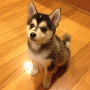 husky pomeranian mix full grown 7 things you need to know before buying a pomsky animalso 1292